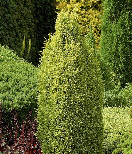 Vrtnarstvo Breskvar - Juniperus Communis Suecica Aurea