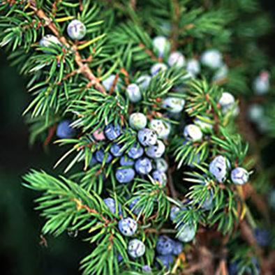 Vrtnarstvo Breskvar - Juniperus Conferta Blue Pacific