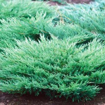 Vrtnarstvo Breskvar - Juniperus Horizontalis Andorra Compact
