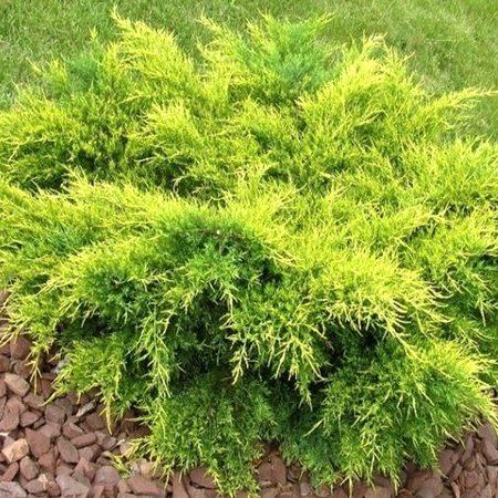 Vrtnarstvo Breskvar - Juniperus Media Old Gold