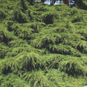 Vrtnarstvo Breskvar - Juniperus Media Pfitzeriana