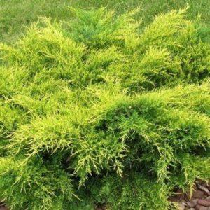 Vrtnarstvo Breskvar - Juniperus Pfitzeriana Gold Coast