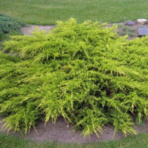 Vrtnarstvo Breskvar - Juniperus Pitzeriana Aurea