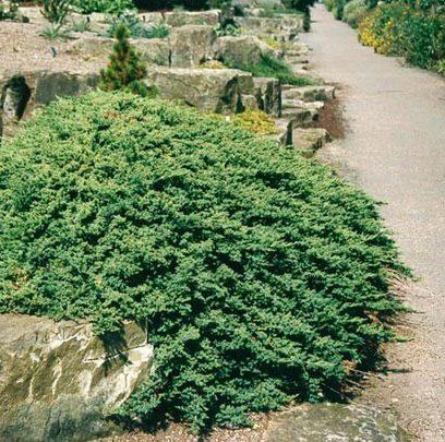 Vrtnarstvo Breskvar - Juniperus Procumbens Nana