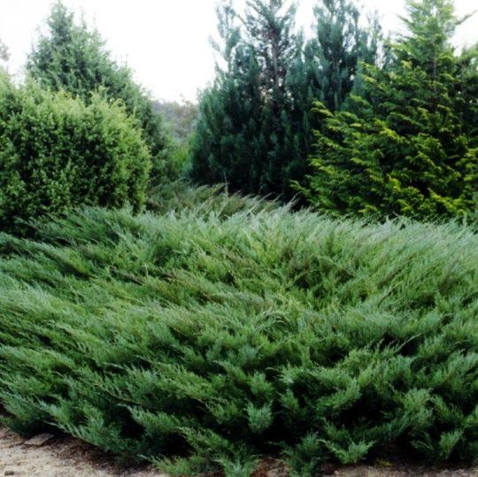 Vrtnarstvo Breskvar - Juniperus Sabina Tamariscifolia