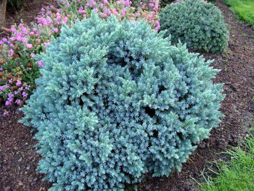 Vrtnarstvo Breskvar - Juniperus Squa Blue Star