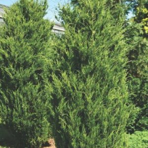Vrtnarstvo Breskvar - Juniperus Virginiana Canaertii
