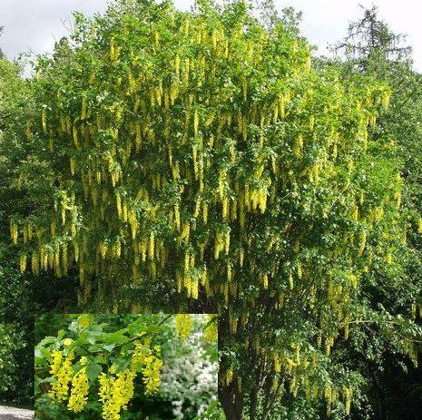 Vrtnarstvo Breskvar - Laburnum Alpinum Pendulum