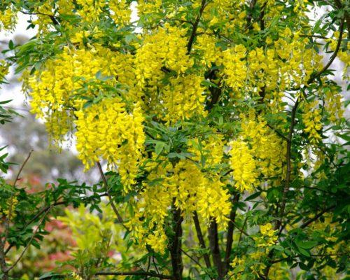 Vrtnarstvo Breskvar - Laburnum Anagyroides