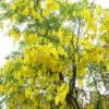 Vrtnarstvo Breskvar - Laburnum x Watereri Vossii