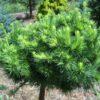 Vrtnarstvo Breskvar - Larix Decidua Globus