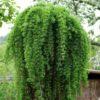Vrtnarstvo Breskvar - Larix Decidua Puli