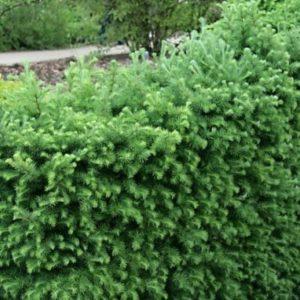 Vrtnarstvo Breskvar - Larix kaempferi