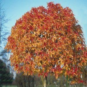 Vrtnarstvo Breskvar - Liquidambar Styraciflua Gum Ball