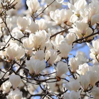 Vrtnarstvo Breskvar - Magnolia Alba Superba