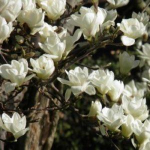 Vrtnarstvo Breskvar - Magnolia Denudata