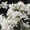 Vrtnarstvo Breskvar - Magnolia Kobus