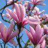 Vrtnarstvo Breskvar - Magnolia Spectrum