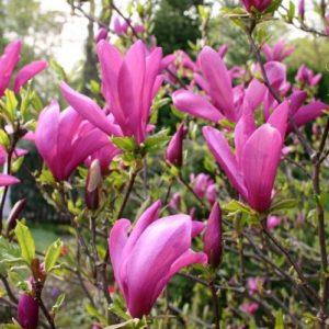 Vrtnarstvo Breskvar - Magnolia Susan