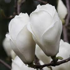 Vrtnarstvo Breskvar - Magnolia x Soulangeana Lennei Alba