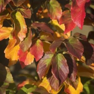 Vrtnarstvo Breskvar - Parrotia persica Vanessa