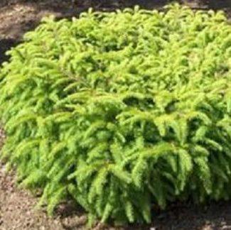 Vrtnarstvo Breskvar - Picea abies Nidiformis