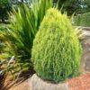 Vrtnarstvo Breskvar - Picea orientalis Aurea
