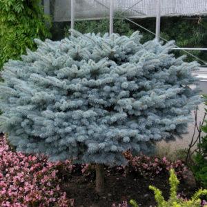Vrtnarstvo Breskvar - Picea Pungens Glauca Globosa