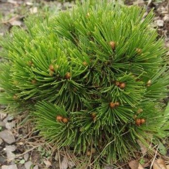 Vrtnarstvo Breskvar - Pinus Leucodermis Schmidtii