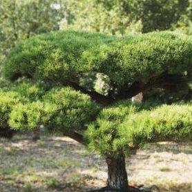 Vrtnarstvo Breskvar - Pinus mugo Gnom