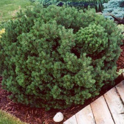 Vrtnarstvo Breskvar - Pinus mugo Mops