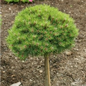 Vrtnarstvo Breskvar - Pinus nigra Green Tower