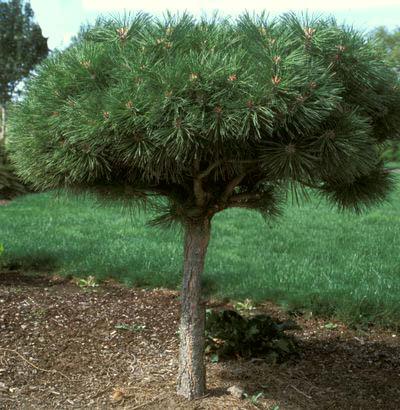 Vrtnarstvo Breskvar - Pinus nigra Pierrick Bregeon