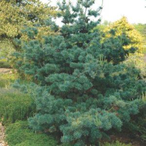 Vrtnarstvo Breskvar - Pinus Parviflora Negishi