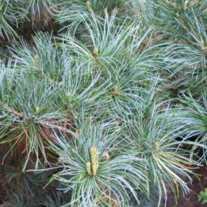 Vrtnarstvo Breskvar - Pinus parviflora Tempelhof
