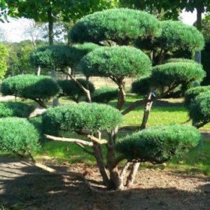 Vrtnarstvo Breskvar - Pinus sylvestris