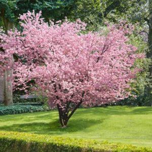 Prunus serrulata 'Accolade'- Vrtnarstvo Breskvar