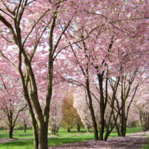 Vrtnarstvo Breskvar - Prunus Accolade