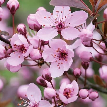 Vrtnarstvo Breskvar - Prunus Cerasifera 'Nigra'