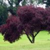 Vrtnarstvo Breskvar - Prunus Cerasifera Nigra