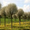 Vrtnarstvo Breskvar - Prunus Fruticosa Globosa