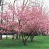 Vrtnarstvo Breskvar - Prunus serrulata Kanzan