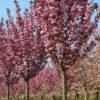 Vrtnarstvo Breskvar - Prunus Serrulata Royal Burgundy