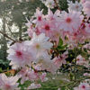 Vrtnarstvo Breskvar - Prunus subhirtella autumnalis