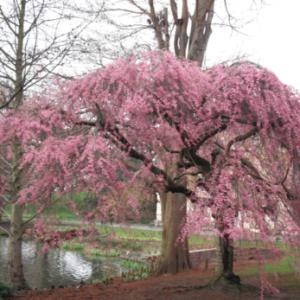 Vrtnarstvo Breskvar - Prunus Subhirtella Pendula