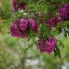 Vrtnarstvo Breskvar - Robinia Casque Rouge