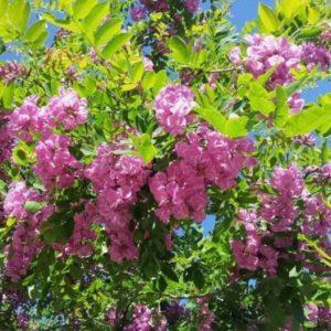 Vrtnarstvo Breskvar - Robinia hispida Macrophylla