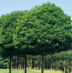 Vrtnarstvo Breskvar - Robinia ps. Umbraculifera