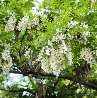Vrtnarstvo Breskvar - Robinia Pseudoacacia Nyirsegi