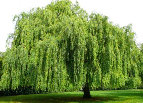 Vrtnarstvo Breskvar - Salix alba Tristis